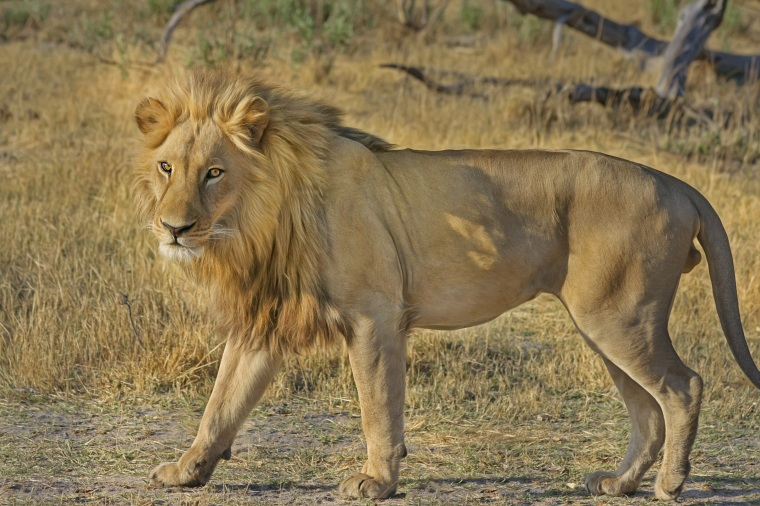 lion-wildcat-safari-africa-47036